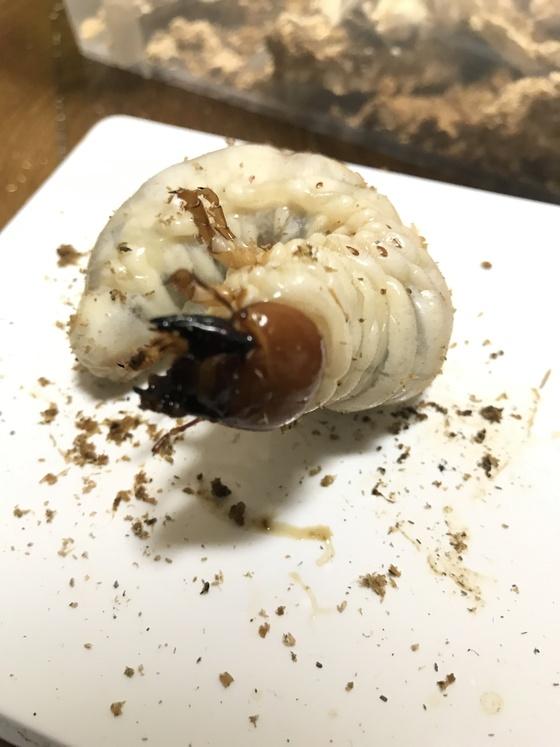 久しぶりにパラワン幼虫と、スマトラ幼虫(´∀`*)