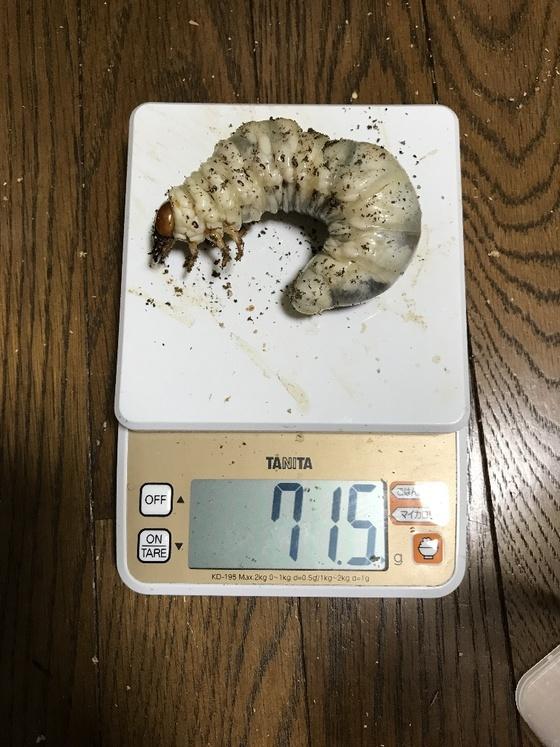パラワンヒラタkuniライン幼虫(*^▽^*)
