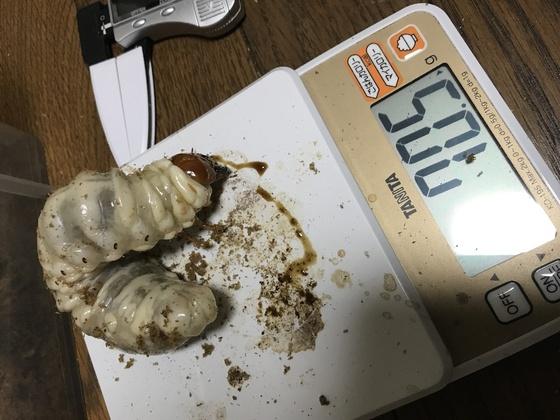 スマトラアチェの幼虫ビン交換^_^